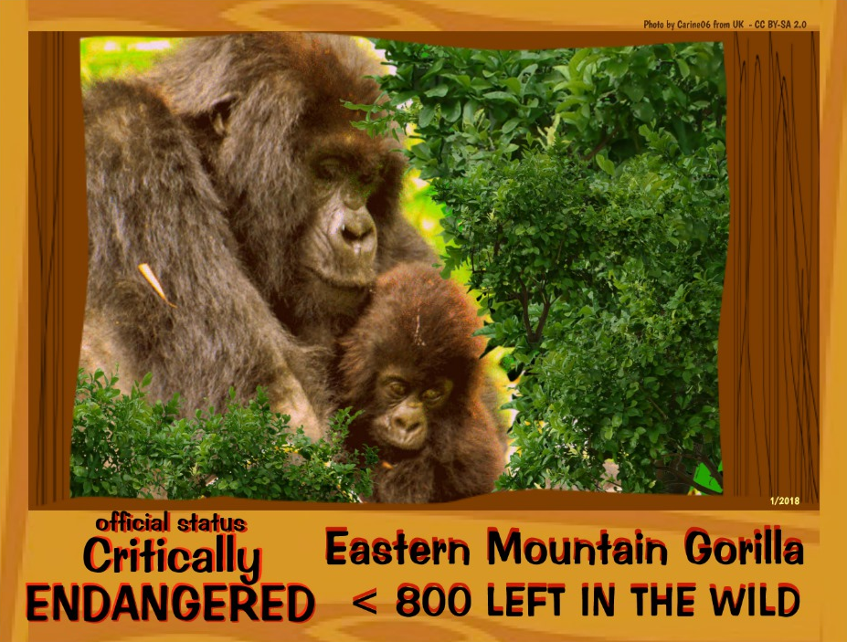 Eastern Mountain Gorilla postcard front page