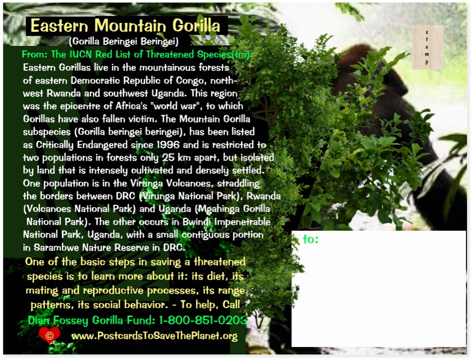 Eastern Mountain Gorilla  postcard back page