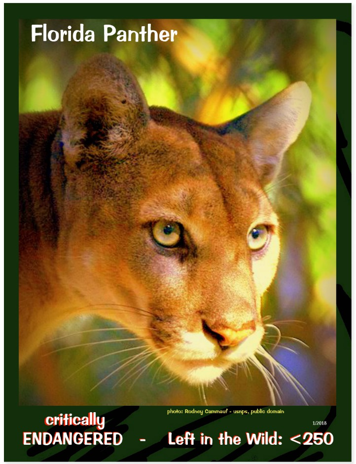 the Florida Panther postcard front page