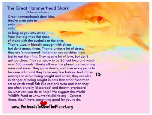 the Great Hammerhead Shark postcard back page