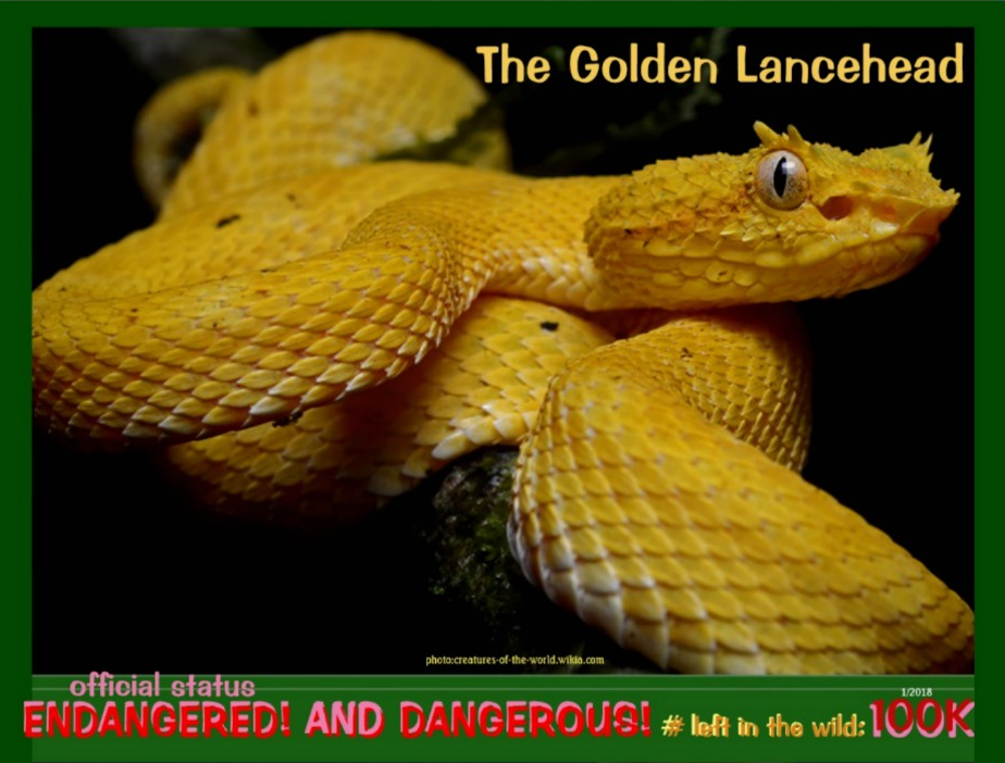 the Golden Lancehead postcard front page