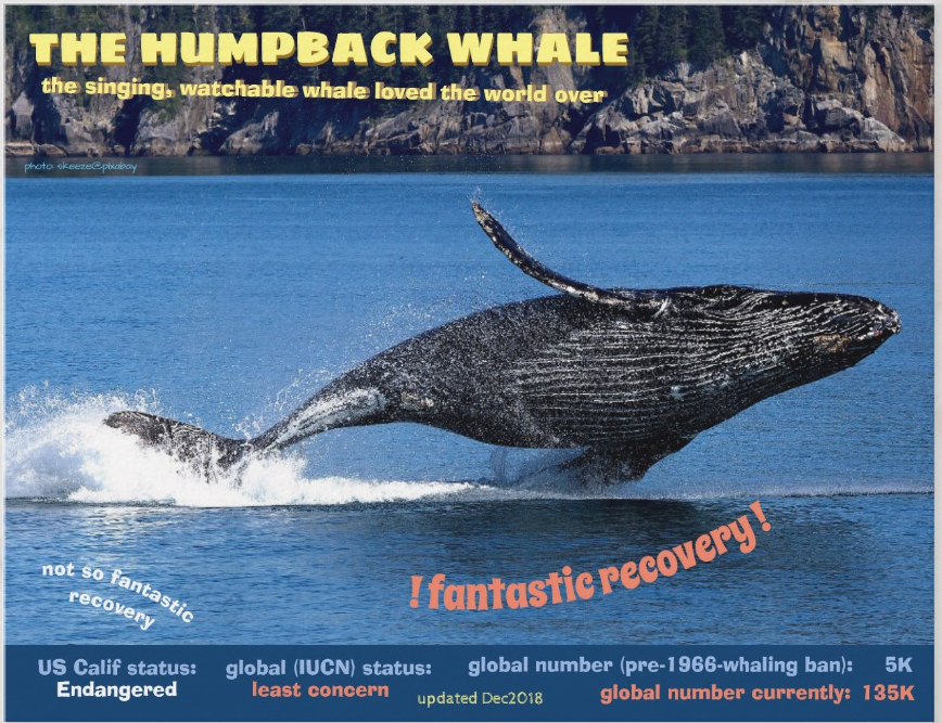 Humpback Whale front postcard