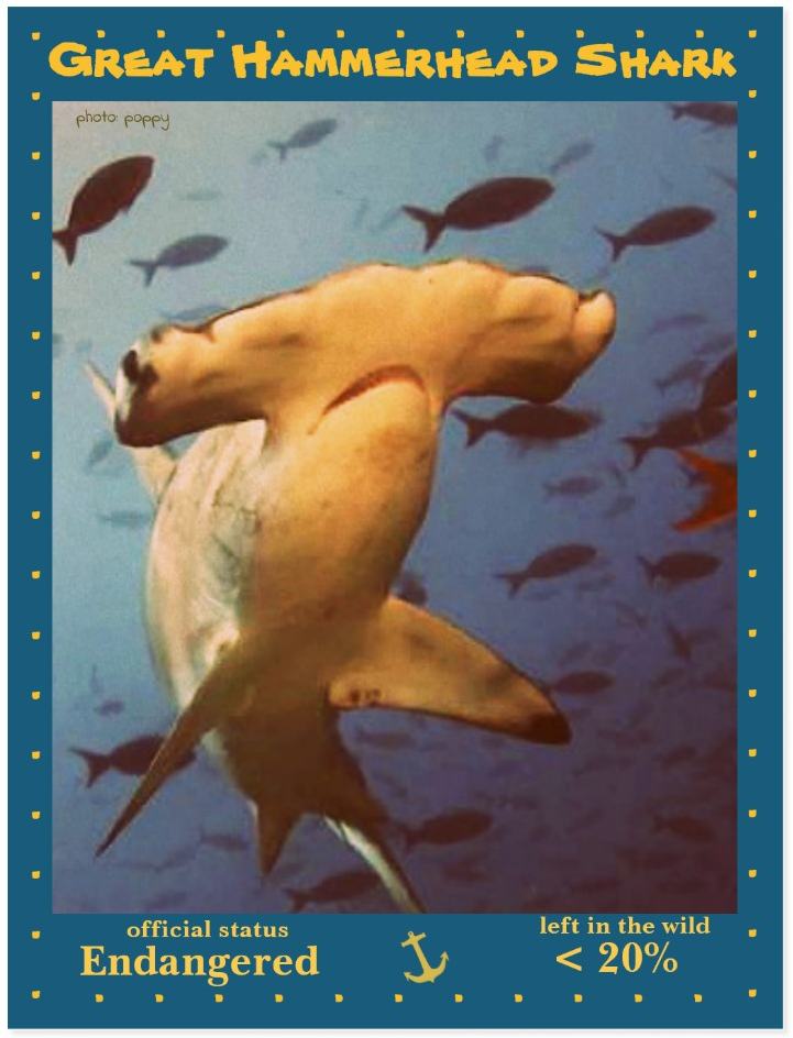 the Great Hammerhead Shark postcard front page