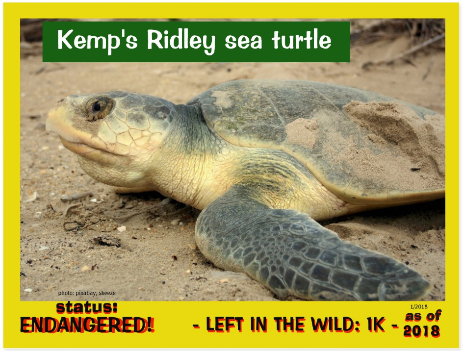 Kemp's Ridley Sea Turtle postcard front page