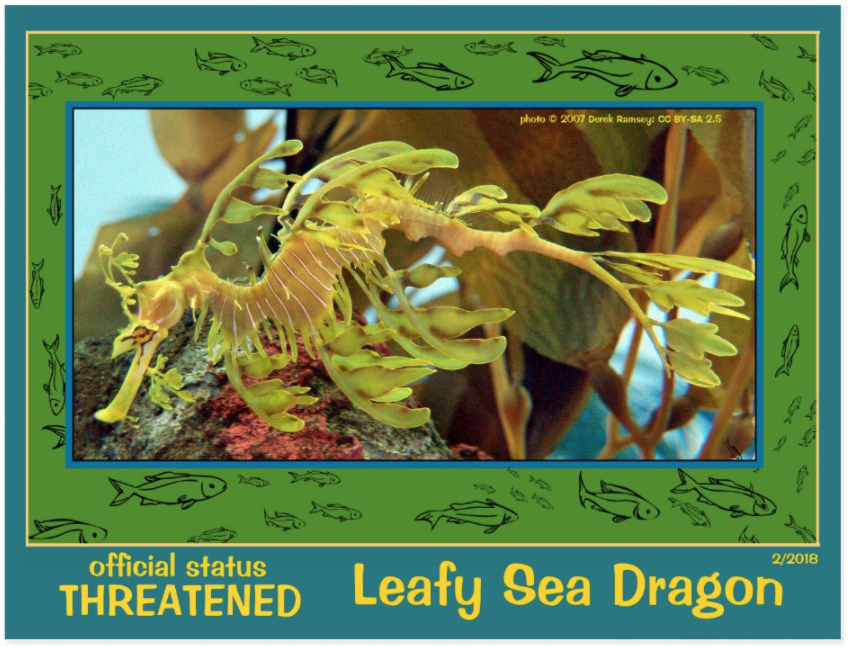 the Leafy Sea Dragon postcard front page