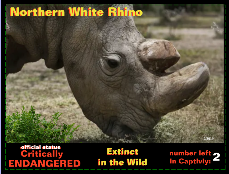 the Northern White Rhino postcard front page