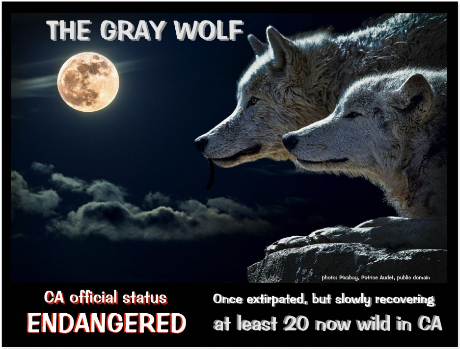 California Gray Wolf front postcard