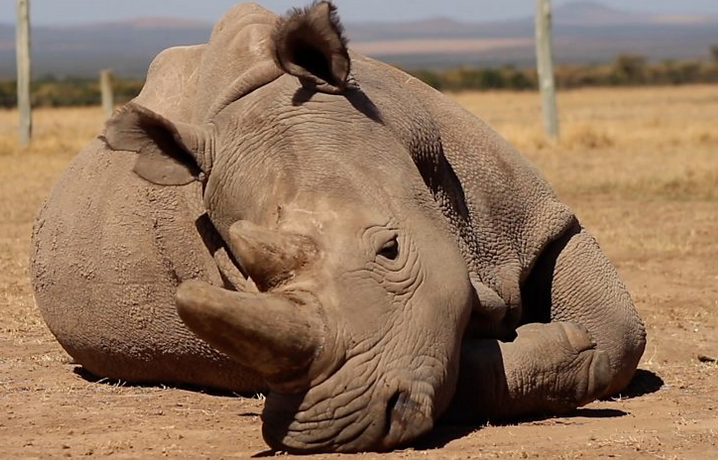 Can the Northern White Rhino be saved?